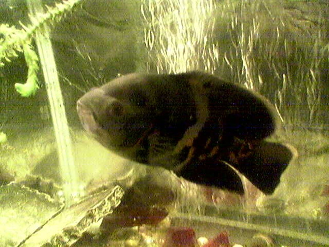 freshwater fish - astronotus ocellatus - tiger oscar stocking in 33 gallons tank - my pal oscar!