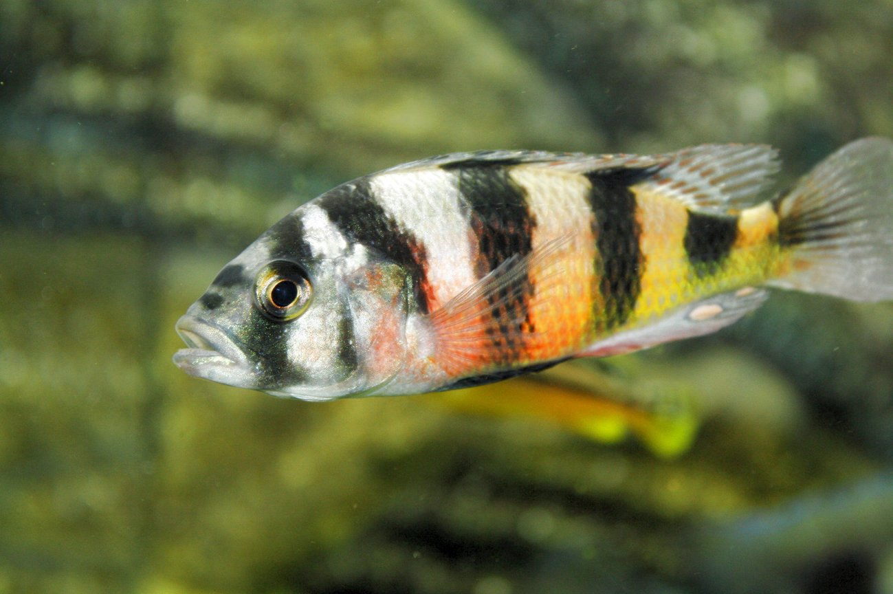 freshwater fish - astatotilapia latifasciata - zebra obliquidens stocking in 80 gallons tank - Victoria