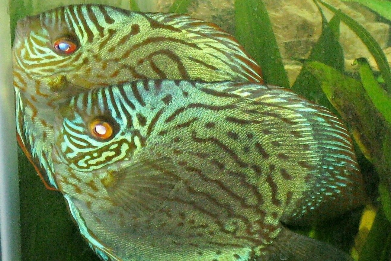 freshwater fish - aquagreen scribble discus stocking in 135 gallons tank - Mated pair of Discus