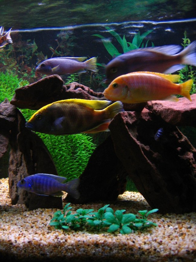 freshwater fish - nimbochromis venustus - venustus cichlid stocking in 75 gallons tank - Getting hungry! (Left to right) My 2nd Electric Blue who has almost fully changed colour, Venustus, Acei, Hajomaylandi, Blue Dolphin & Demasoni.