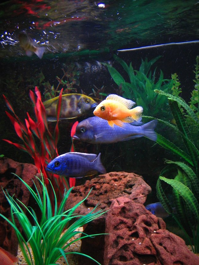 freshwater fish - cyrtocara moorii - blue dolphin cichlid stocking in 75 gallons tank - (Left to right) Venustus, Electric Blue, Blue Dolphin, Dragonblood Peacock.