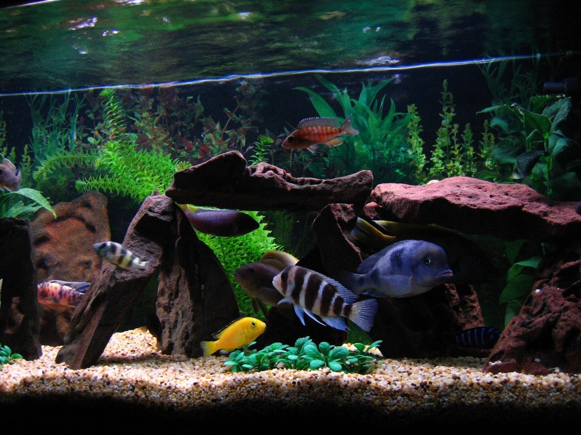 freshwater fish - cyphotilapia frontosa - frontosa cichlid stocking in 75 gallons tank - ( Left to right) Back end of Marble Peacock, Zebra Obliquidens, Acei, Electric Yellow, Red Top Zebra, Jacobfrebiergi, Frontosa, Blue Dolphin, Venustus, Demasoni.