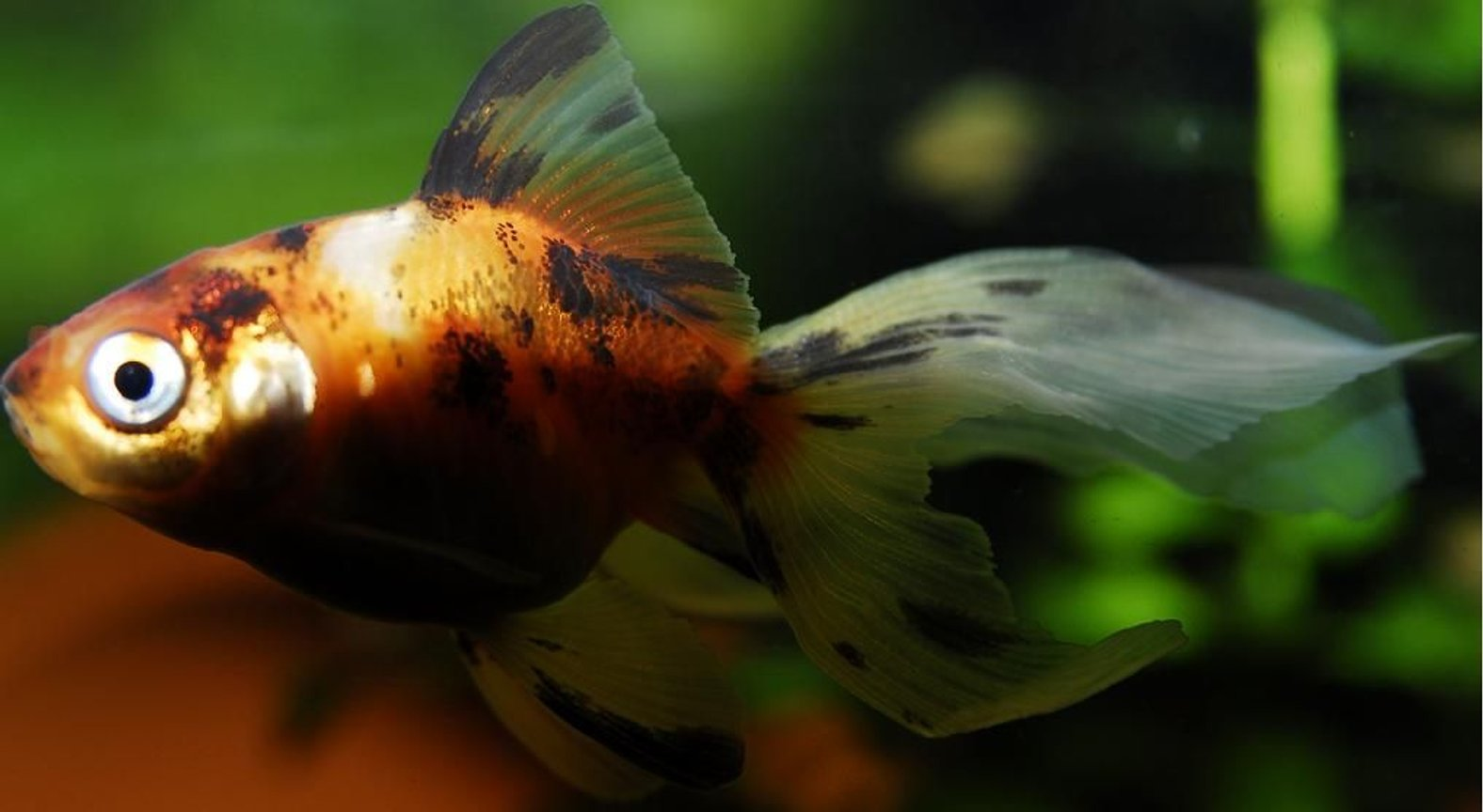 "freshwater fish - carassius auratus - fantail goldfish, calico stocking in 55 gallons tank - 2"" Calico Goldfish Kept in a 100 gallon tank with other goldfish"