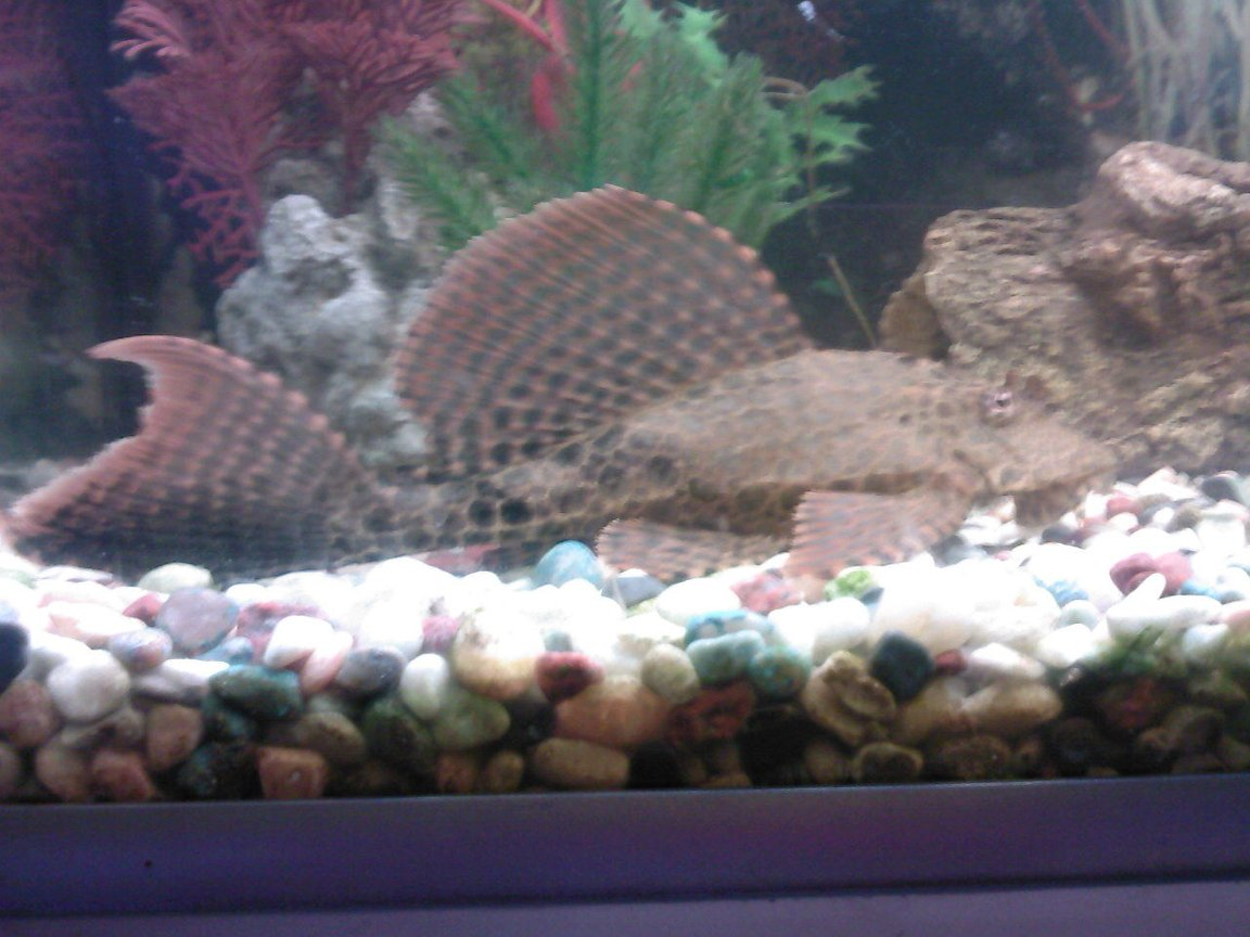 freshwater fish - hypostomus plecostomus - common pleco stocking in 190 gallons tank - Leo, posing for his pic again!!