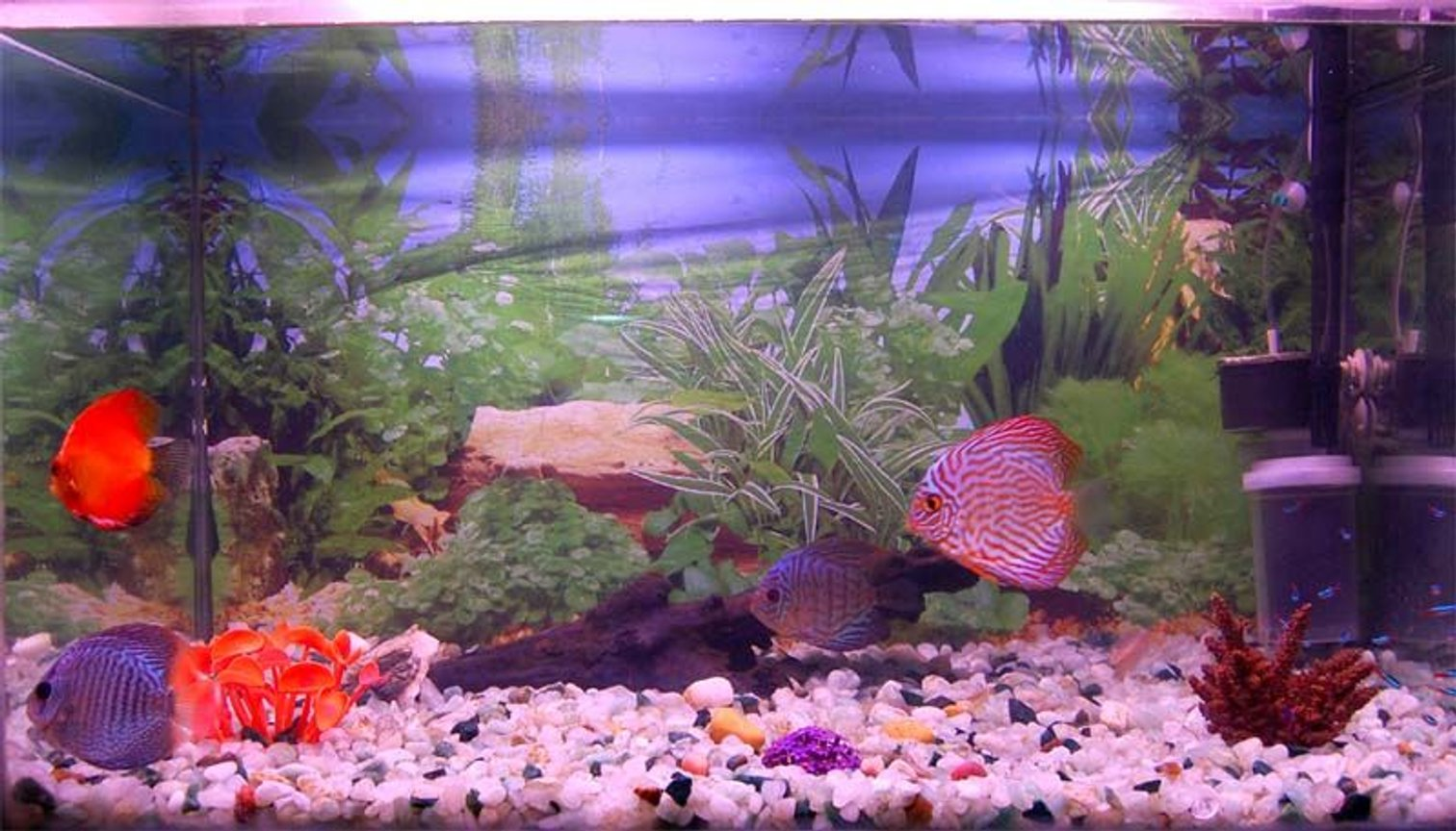 freshwater fish - oriental dream discus stocking in 38 gallons tank - 38 gal discus aquarium