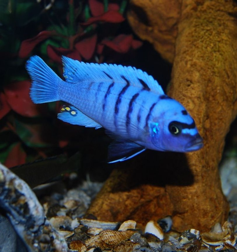 freshwater fish - cynotilapia afra - afra cichlid stocking in 125 gallons tank - Blue Reef # 2