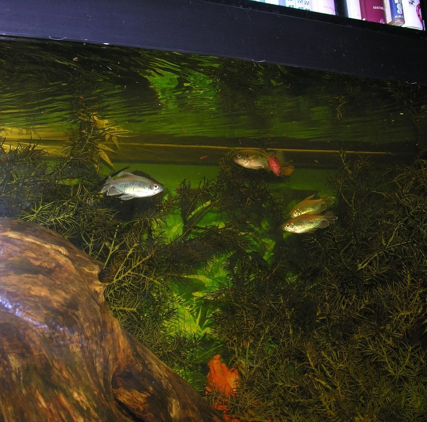 freshwater fish - poecilia latipinna - sailfin molly stocking in 120 gallons tank - feeding time