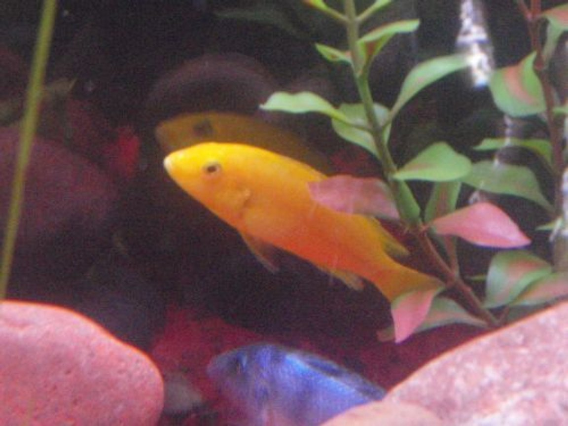 freshwater fish - labidochromis caeruleus - electric yellow cichlid stocking in 29 gallons tank - Electric Yellow