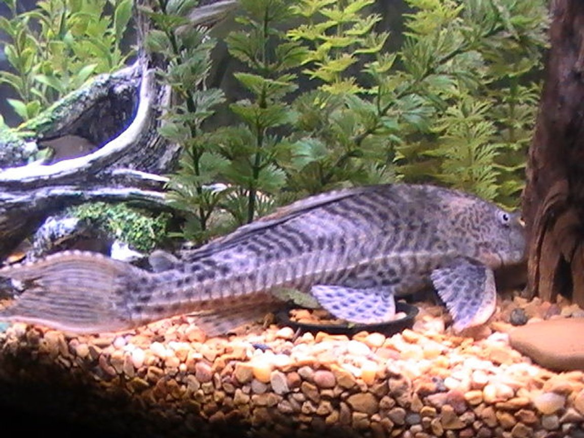 freshwater fish - glyptoperichthys gibbiceps - sailfin pleco (l-83) stocking in 55 gallons tank - coming soon