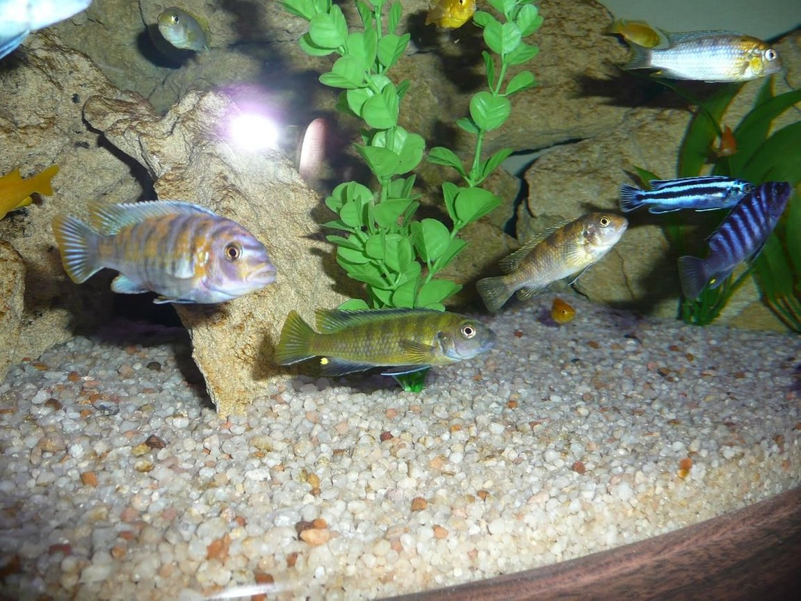 freshwater fish - labeotropheus fuelleborni - fuelleborni cichlid, marmalade stocking in 50 gallons tank - The Clan (Well part of them) Will Put in Names shortly