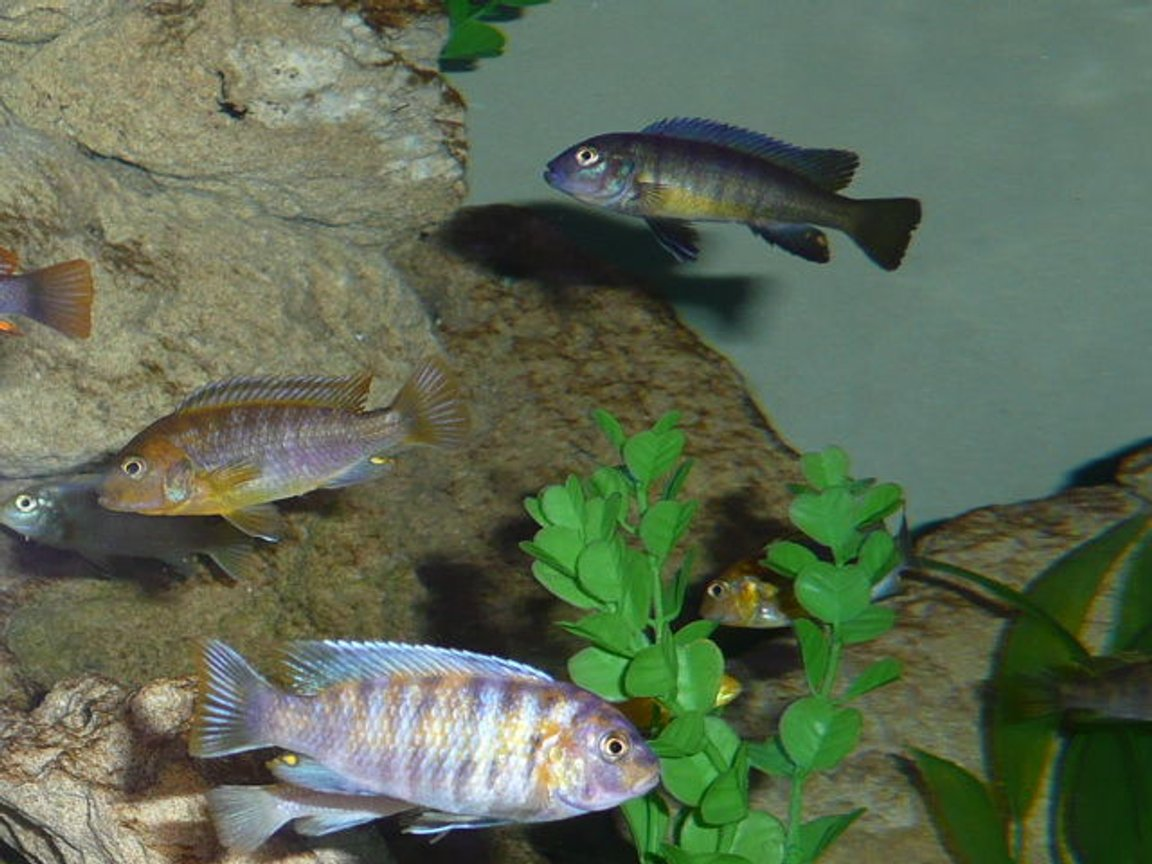 freshwater fish - labeotropheus fuelleborni - fuelleborni cichlid, marmalade stocking in 50 gallons tank - Fish6