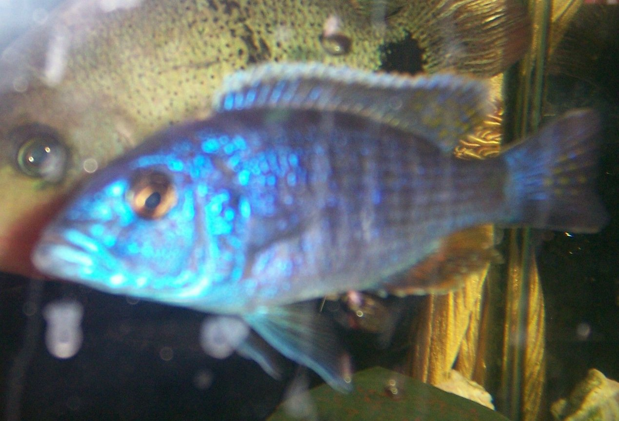 freshwater fish - sciaenochromis fryeri - electric blue hap stocking in 30 gallons tank - another fish...i forgot what kind