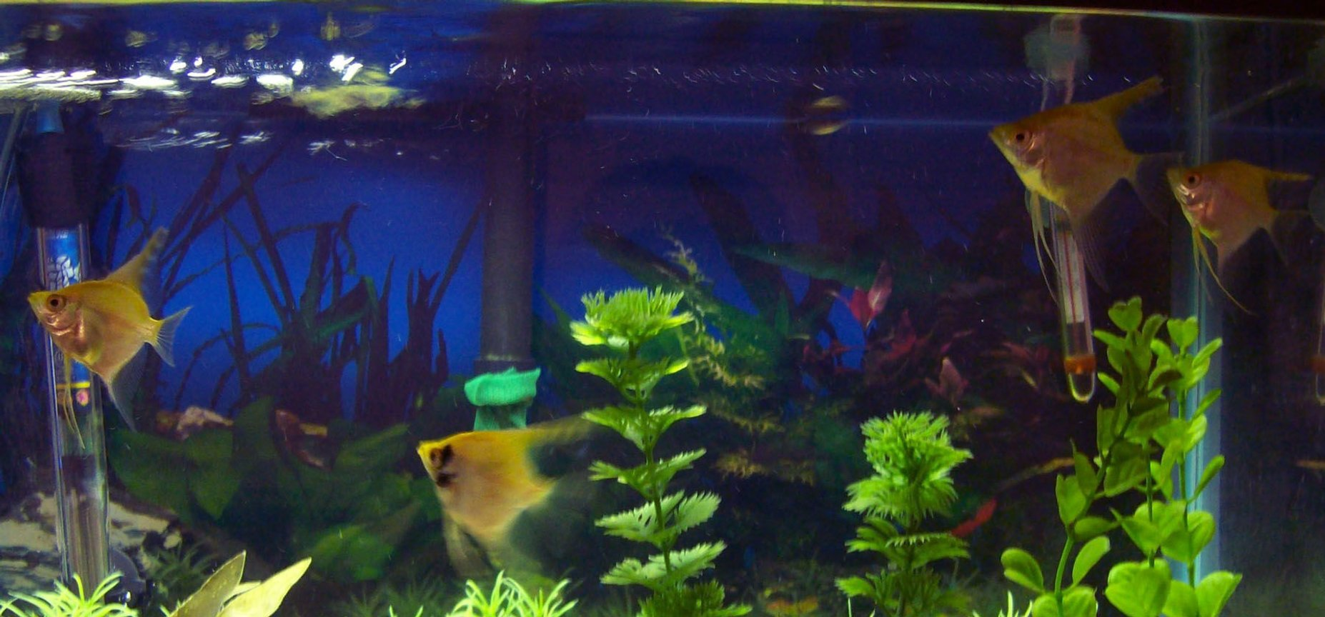 freshwater fish - pterophyllum sp. - red angel stocking in 55 gallons tank - my new angels