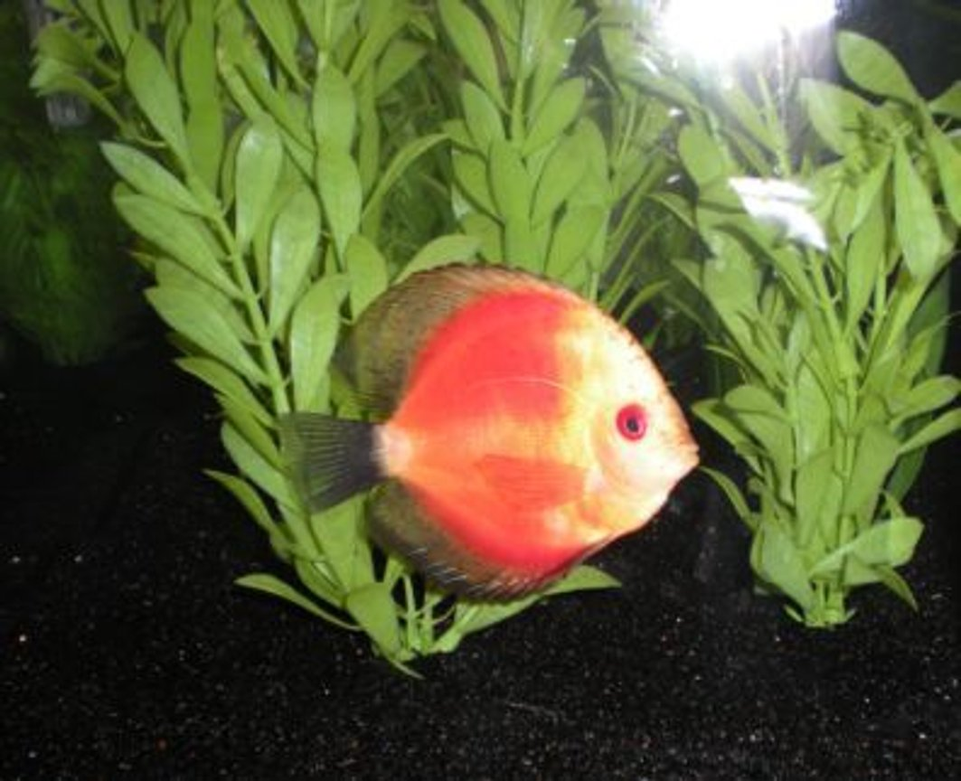 freshwater fish - red melon discus stocking in 26 gallons tank - Yellow Face Red Melon Discus