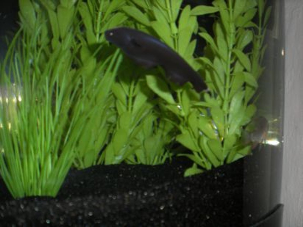 freshwater fish - apteronotus albifrons - black ghost knife fish stocking in 26 gallons tank - Black Ghost Knife