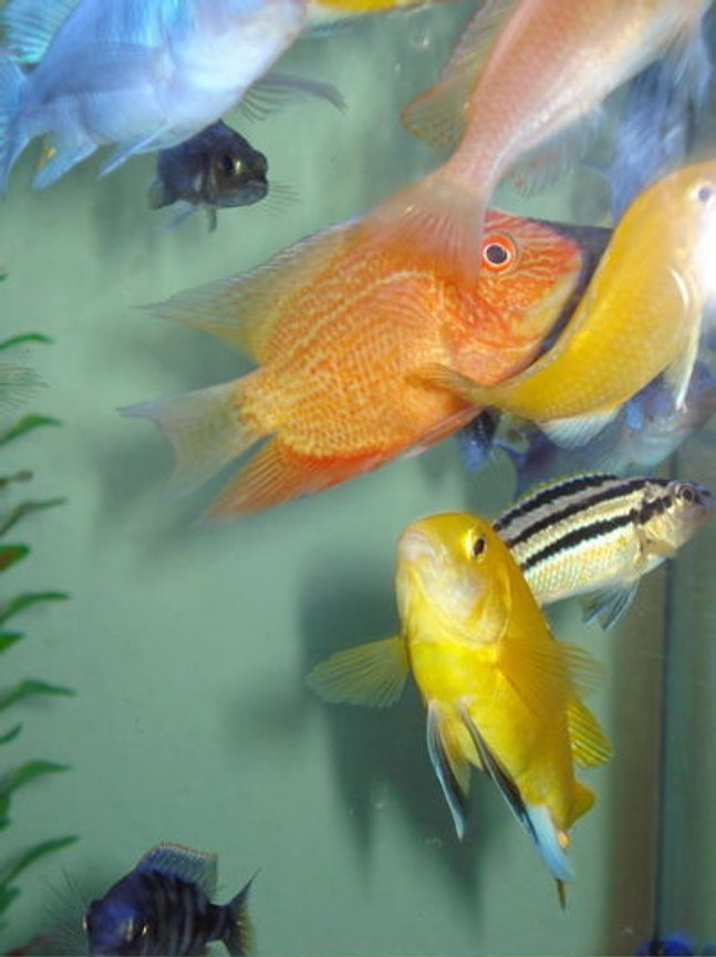 freshwater fish - heros serverus - gold severum stocking in 80 gallons tank - Golden Severum and friends