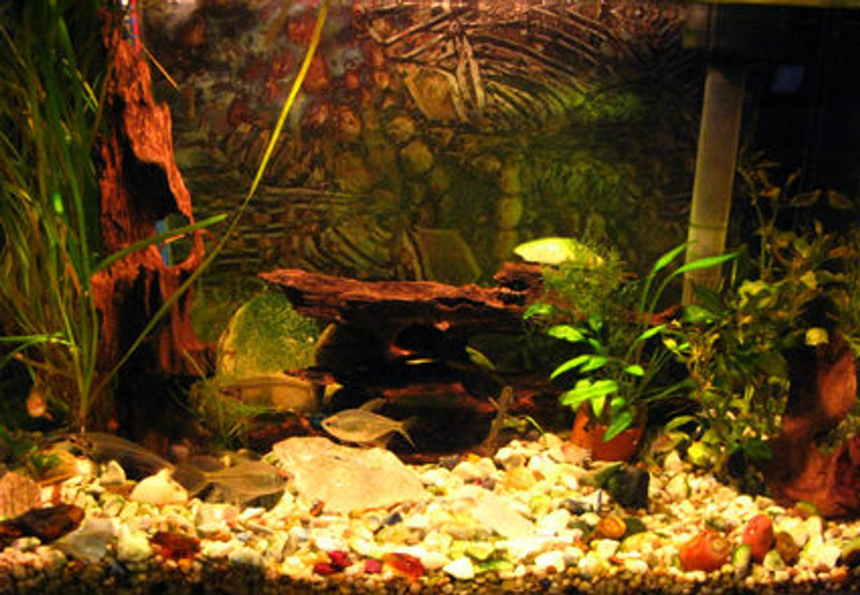 freshwater fish - kryptopterus bicirrhis - ghost glass cat stocking in 10 gallons tank - my little tank.