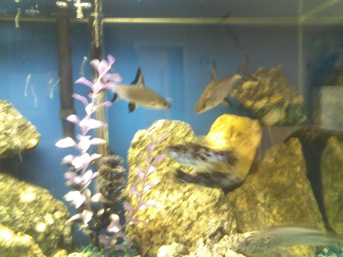 freshwater fish - balantiocheilus melanopterus - bala shark stocking in 40 gallons tank - sharks