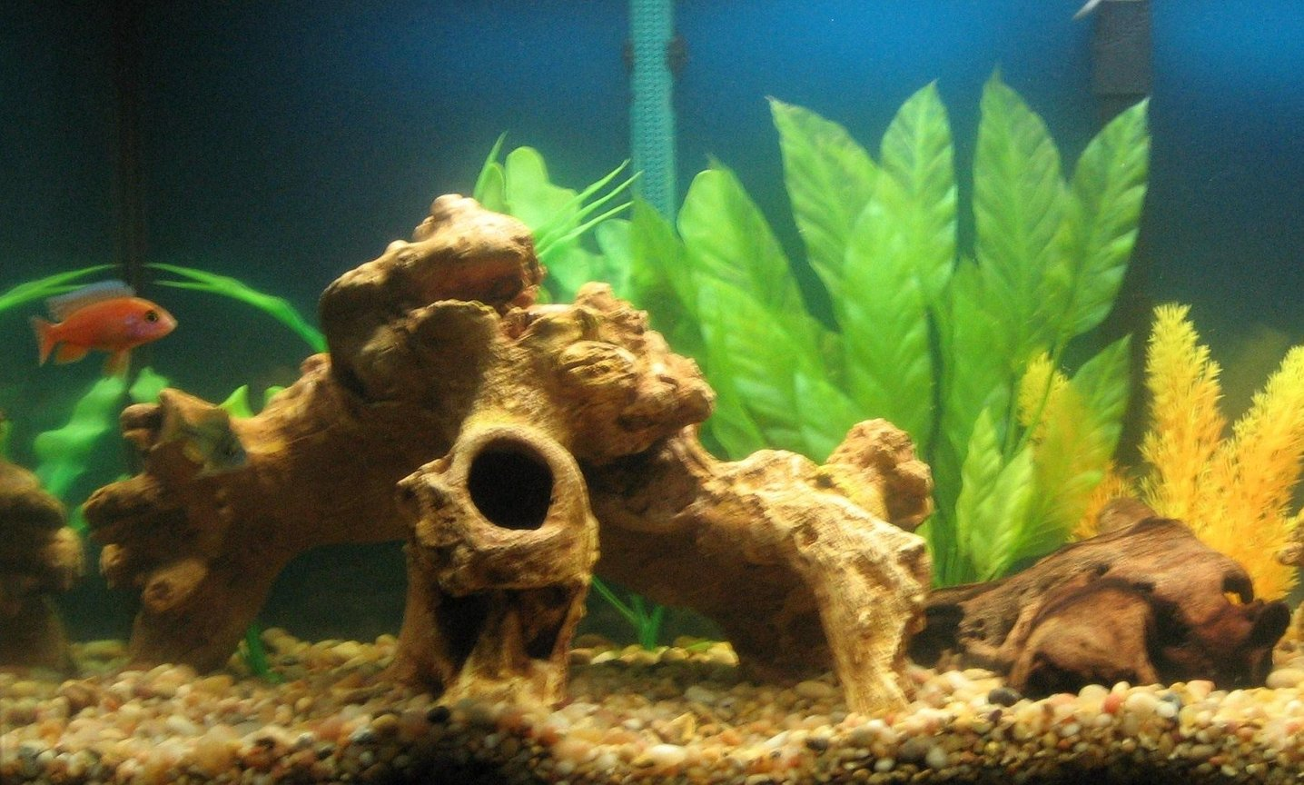 freshwater fish - pseudotropheus estherae - red zebra cichlid stocking in 29 gallons tank - my 29 gallon...