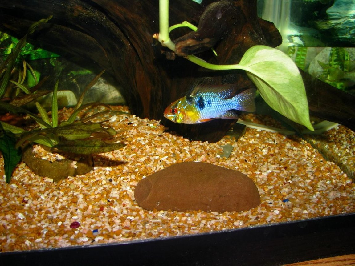 freshwater fish - papiliochromis ramirezi - german blue ram stocking in 55 gallons tank - german blue ram