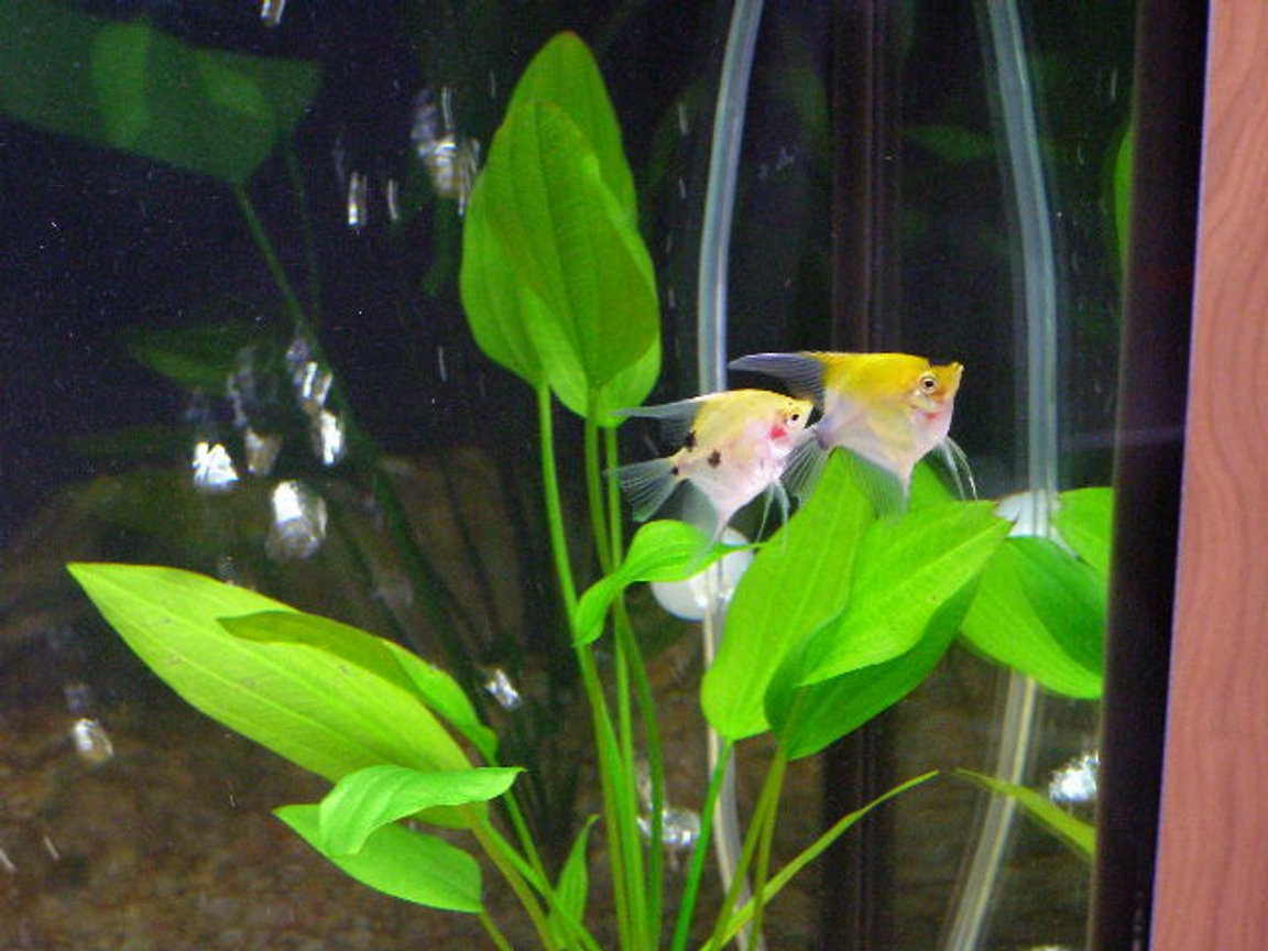freshwater fish - pterophyllum sp. - koi angel stocking in 55 gallons tank - A pair of Koi Angel Fish