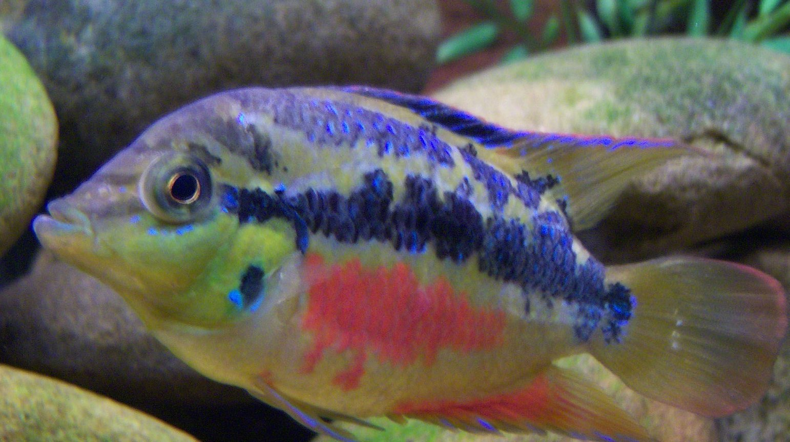 freshwater fish - nandopsis salvini - salvini cichlid stocking in 150 gallons tank - 3 inch Salvini Cichlid
