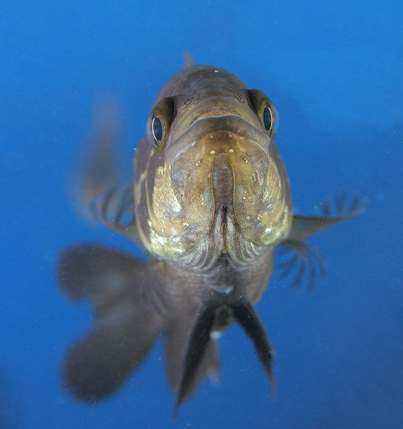 freshwater fish - parachromis managuensis - jaguar cichlid stocking in 45 gallons tank - Jaguar