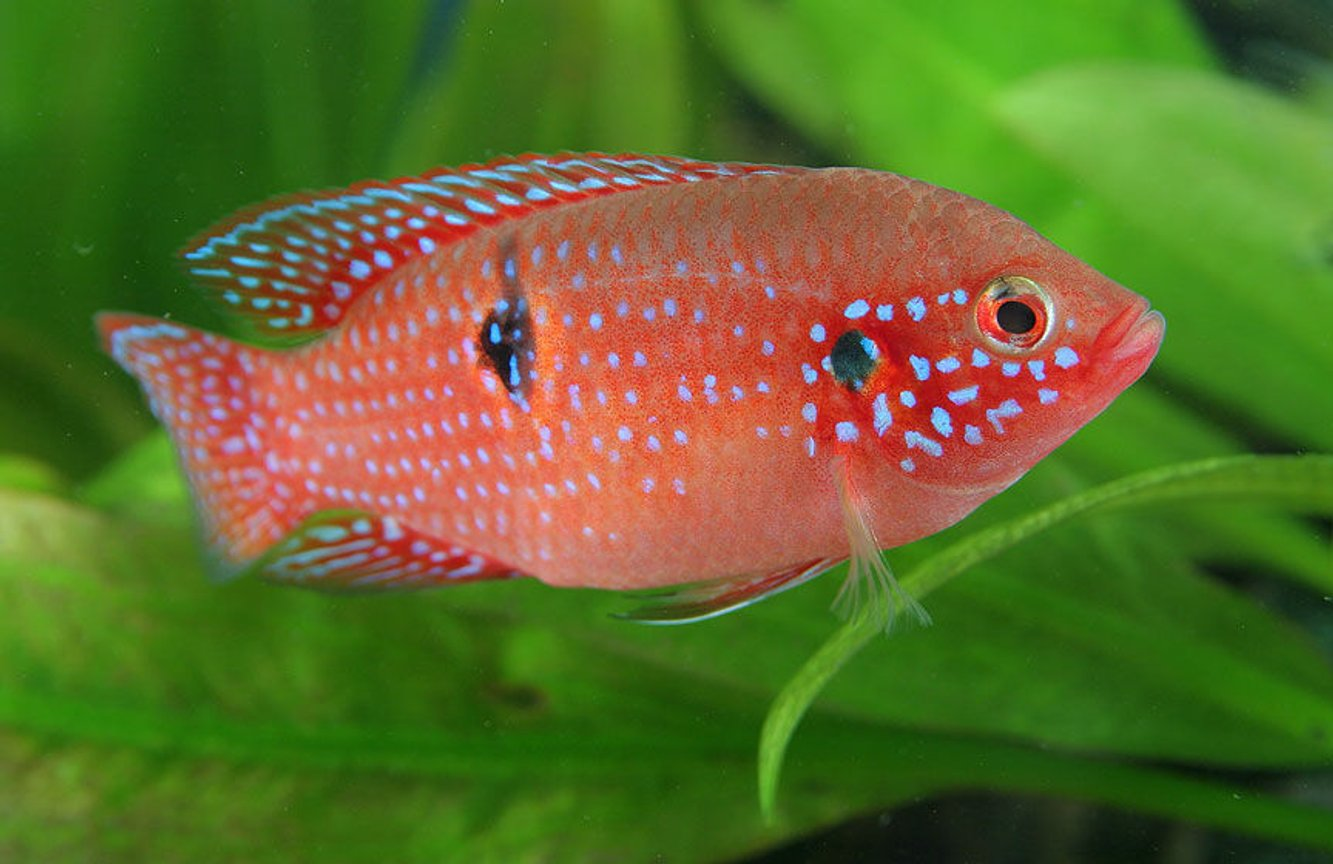 freshwater fish - hemichromis bimaculatus - jewel cichlid stocking in 45 gallons tank - Jewel Cichlid