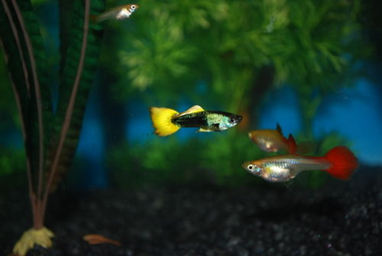 freshwater fish - poecilia reticulata - orange sunshine guppy stocking in 29 gallons tank - My First tank