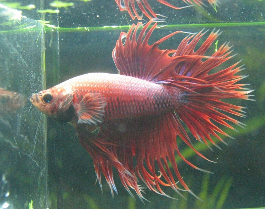 freshwater fish - betta splendens - crown tail betta stocking in 77 gallons tank - Crowntail Betta