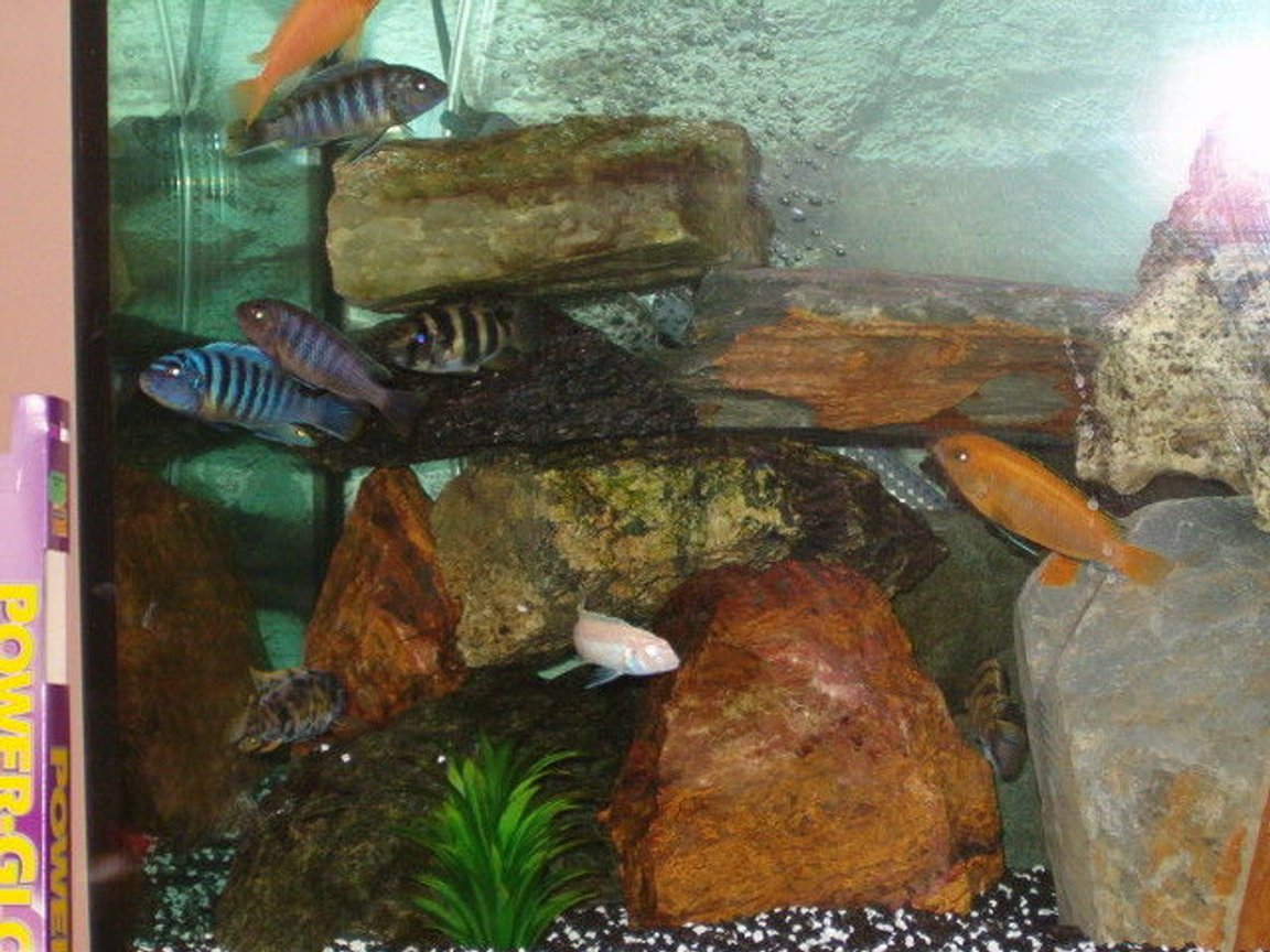 freshwater fish - pseudotropheus estherae - red zebra cichlid stocking in 53 gallons tank - My Cichlids! Gorgeous