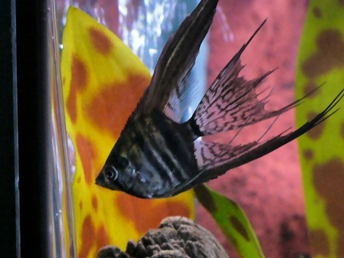freshwater fish - pterophyllum sp. - black veil angel stocking in 80 gallons tank - One of my Angels