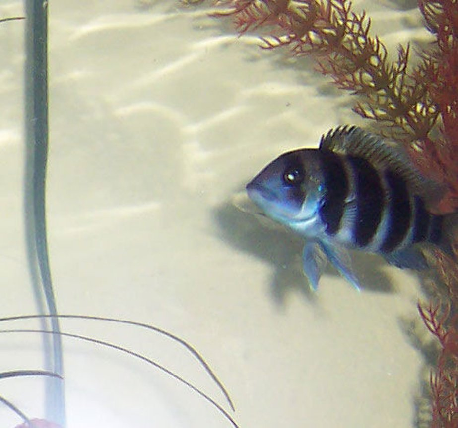 freshwater fish - cyphotilapia frontosa - frontosa cichlid stocking in 75 gallons tank - Young Frontosa 2.5 Inches.