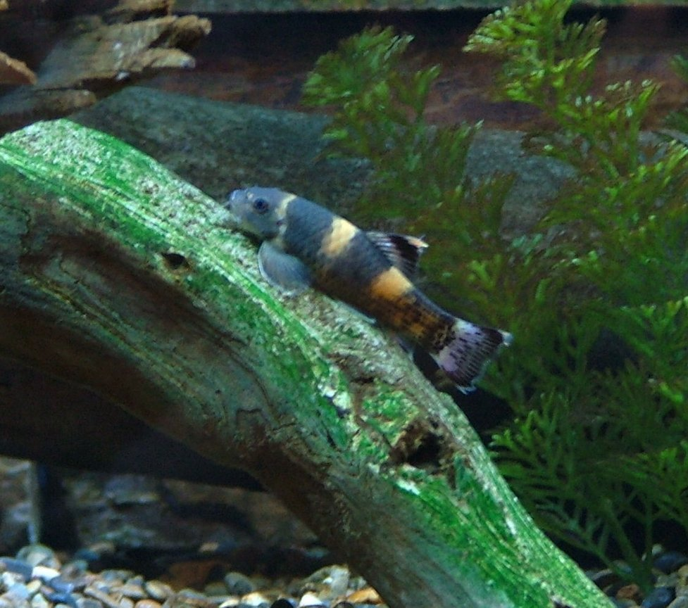 freshwater fish - garra flavatra - panda garra stocking in 168 gallons tank - The best algae eaters ever! Panda Garras never stop, even at night. They don't hang in the same place on the glass all day like plecos. Plus they will never outgrow your tank.