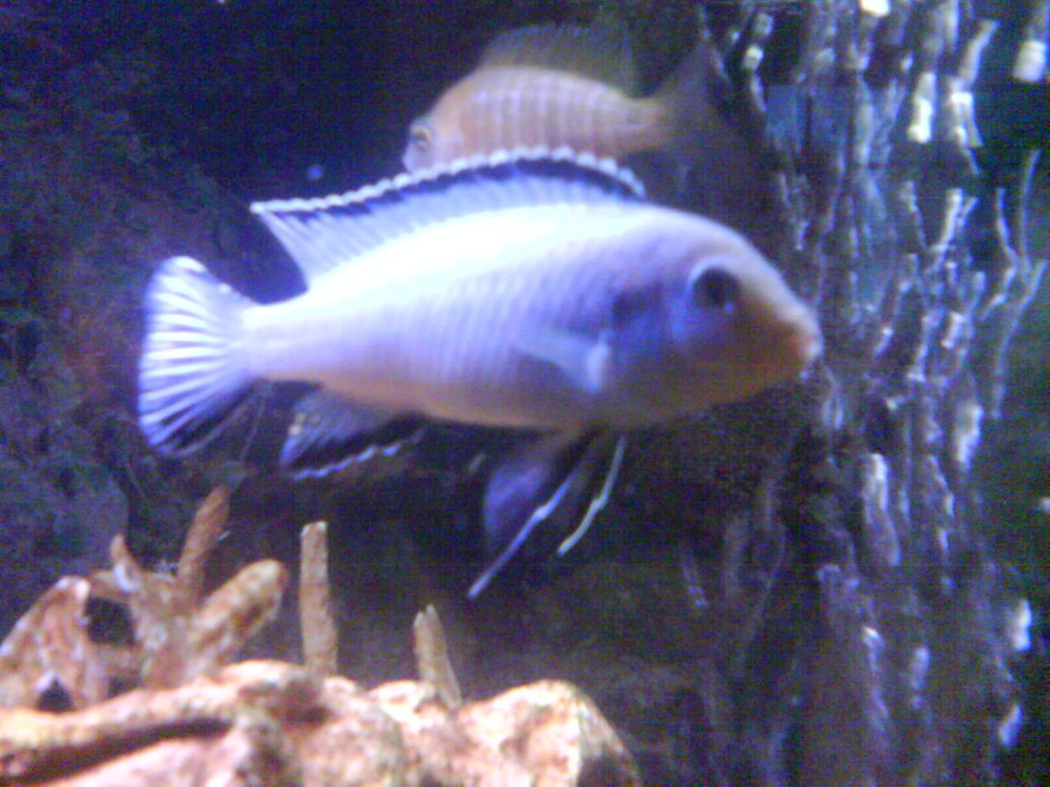 freshwater fish - pseudotropheus socolofi - powder blue cichlid stocking in 36 gallons tank - Im not sure who my dominent male is they seem to all chase each other around