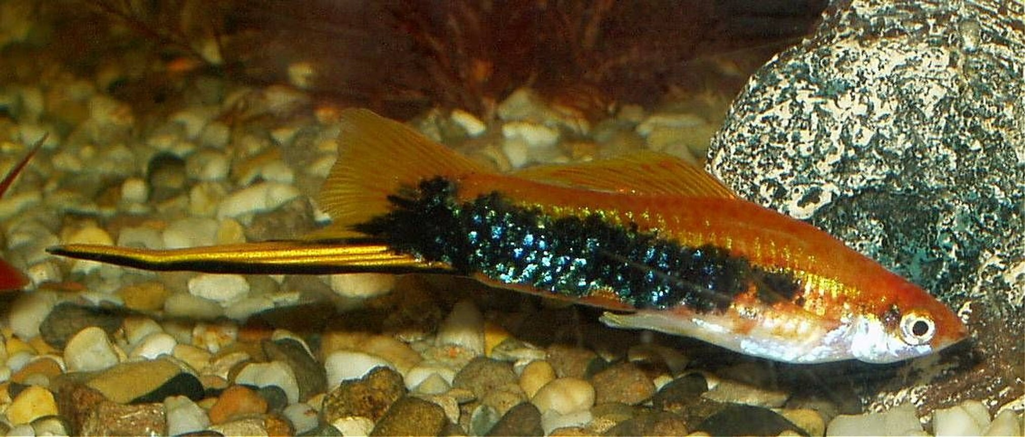 freshwater fish - xiphophorus helleri - swordtail stocking in 240 gallons tank - our male swordtail approx 4 and a half inches