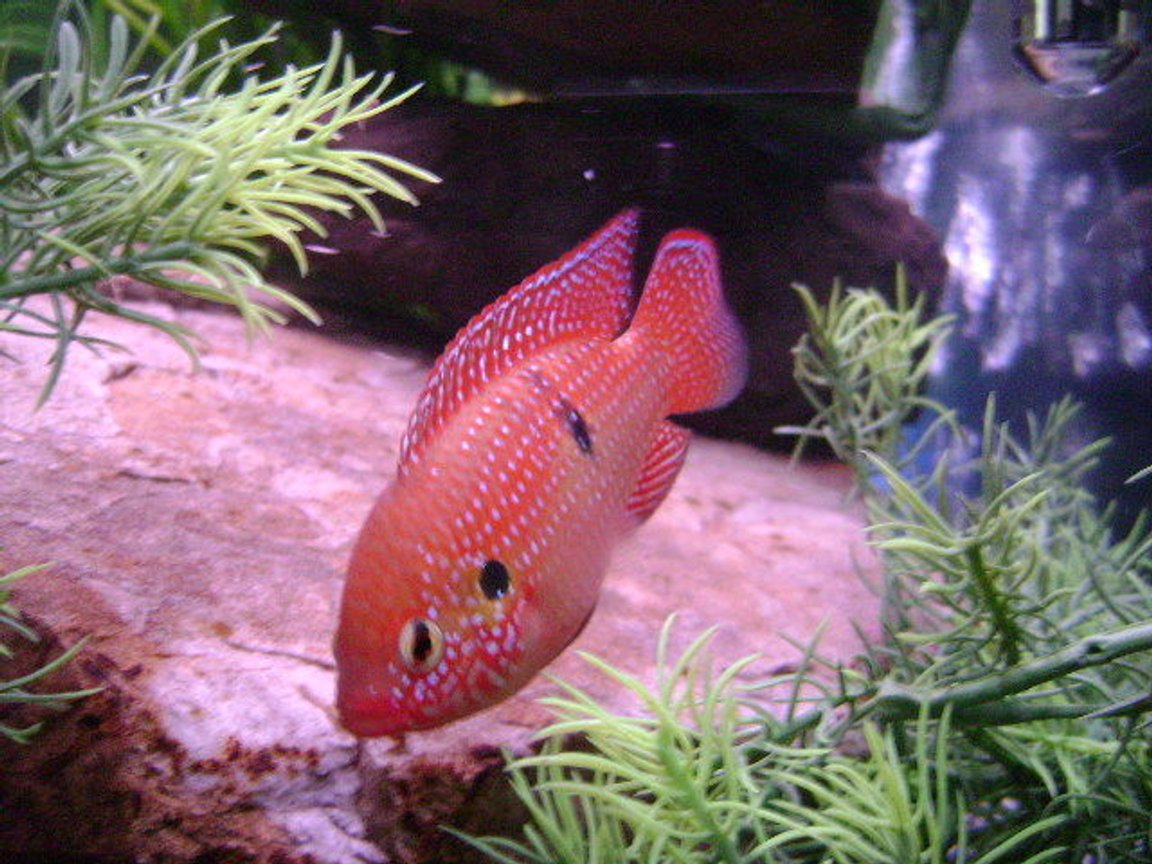 freshwater fish - hemichromis bimaculatus - jewel cichlid stocking in 150 gallons tank - Male Jeweled Cichlid