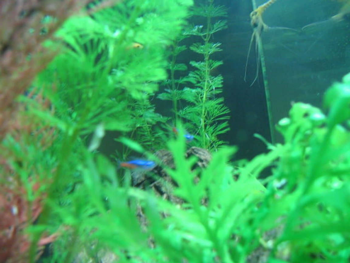 freshwater fish - paracheirodon innesi - neon tetra jumbo stocking in 5 gallons tank - plants and fish