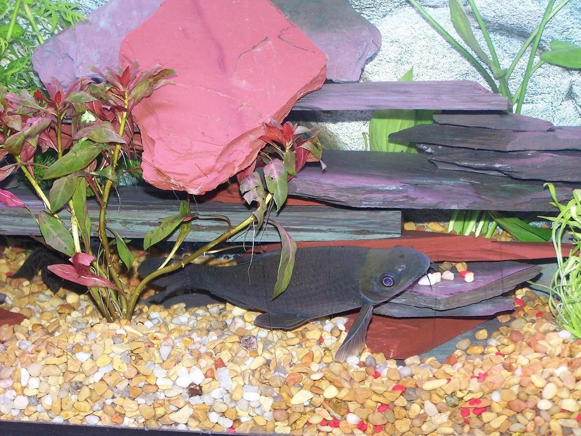 "freshwater fish - labeo chrysophekadion - black shark stocking in 55 gallons tank - 8"" Black Shark"