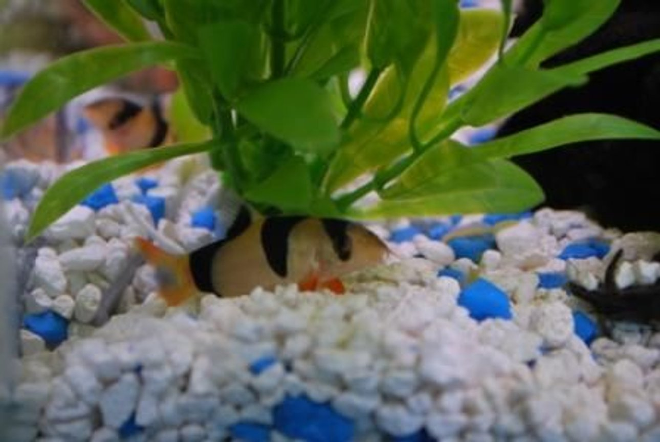 freshwater fish - botia macracantha - clown loach stocking in 37 gallons tank - May I introduce Sir William Kent - a clown loach.