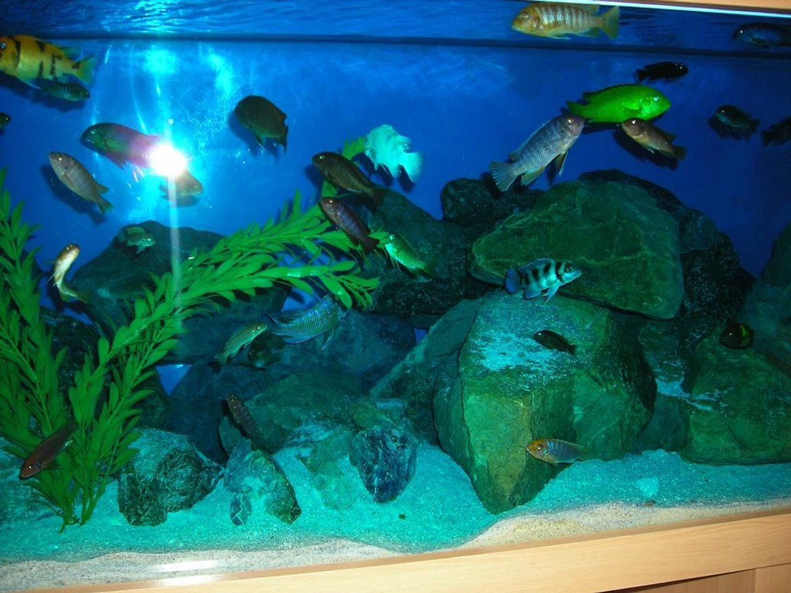 freshwater fish - cyphotilapia frontosa - frontosa cichlid stocking in 180 gallons tank - Mbuna tank