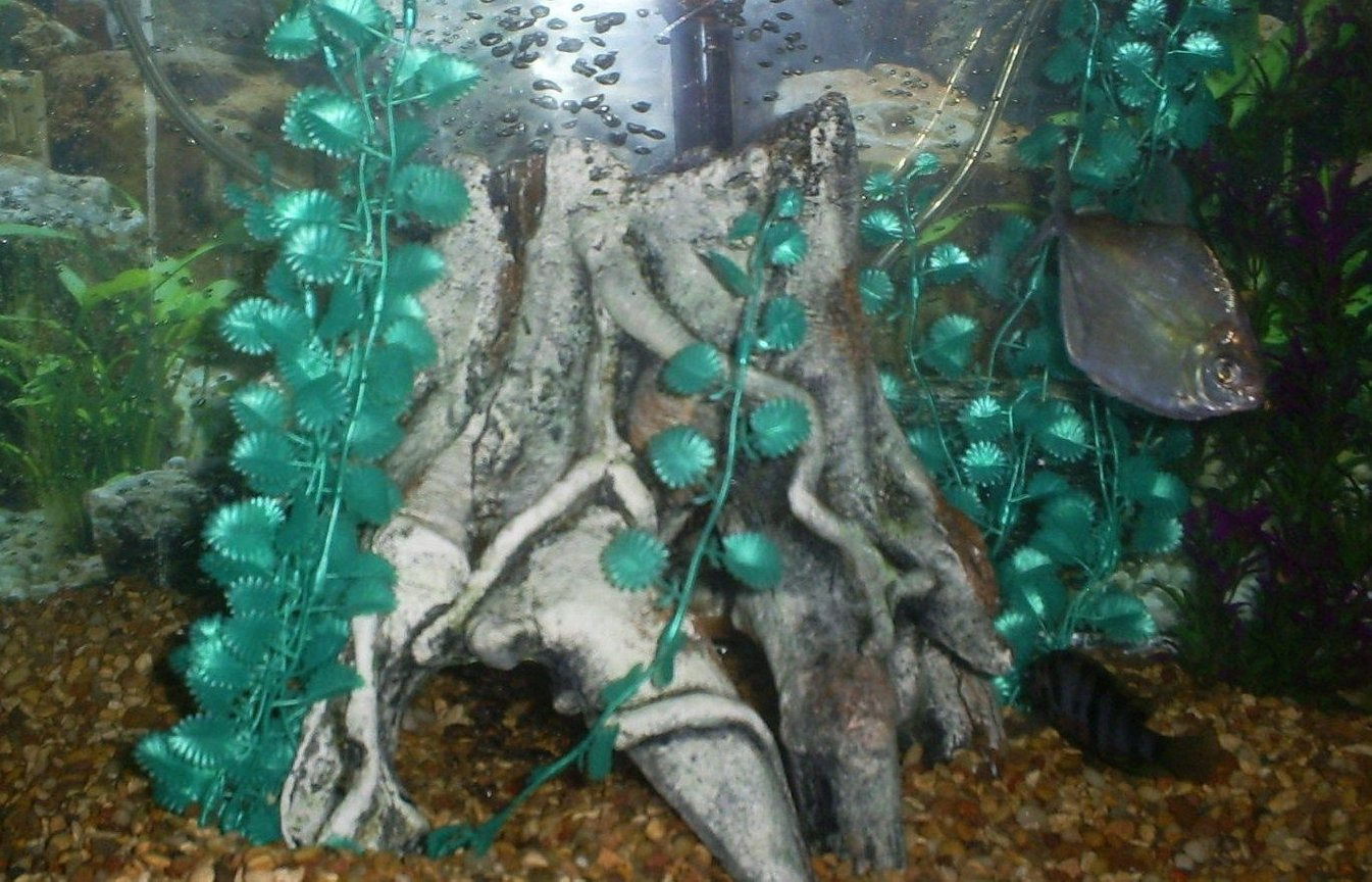freshwater fish - metynnis argenteus - silver dollar stocking in 100 gallons tank - silver dollar & zebra convict