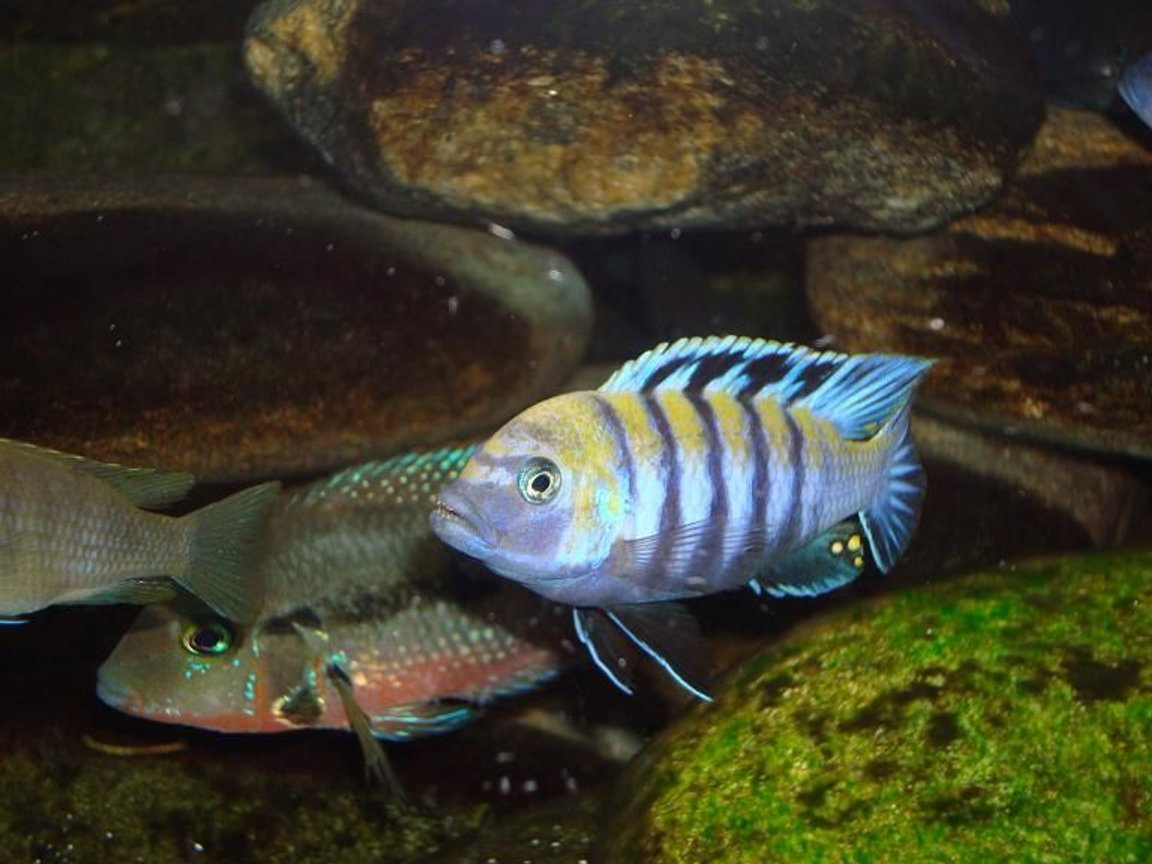 freshwater fish - cynotilapia afra - afra cichlid stocking in 90 gallons tank - cynotilapia afra cobue male