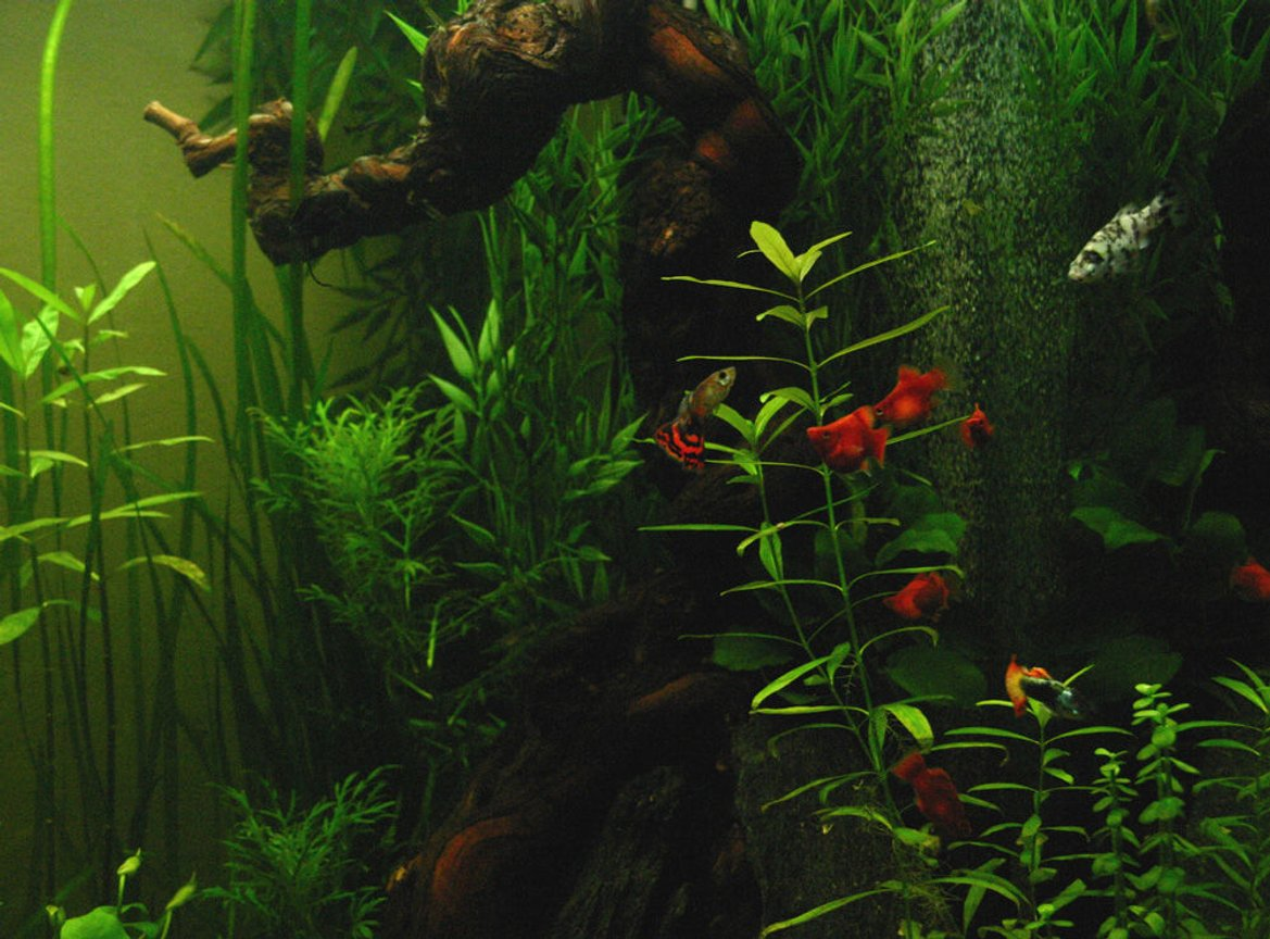 freshwater fish - poecilia reticulata - guppy stocking in 90 gallons tank - My tank