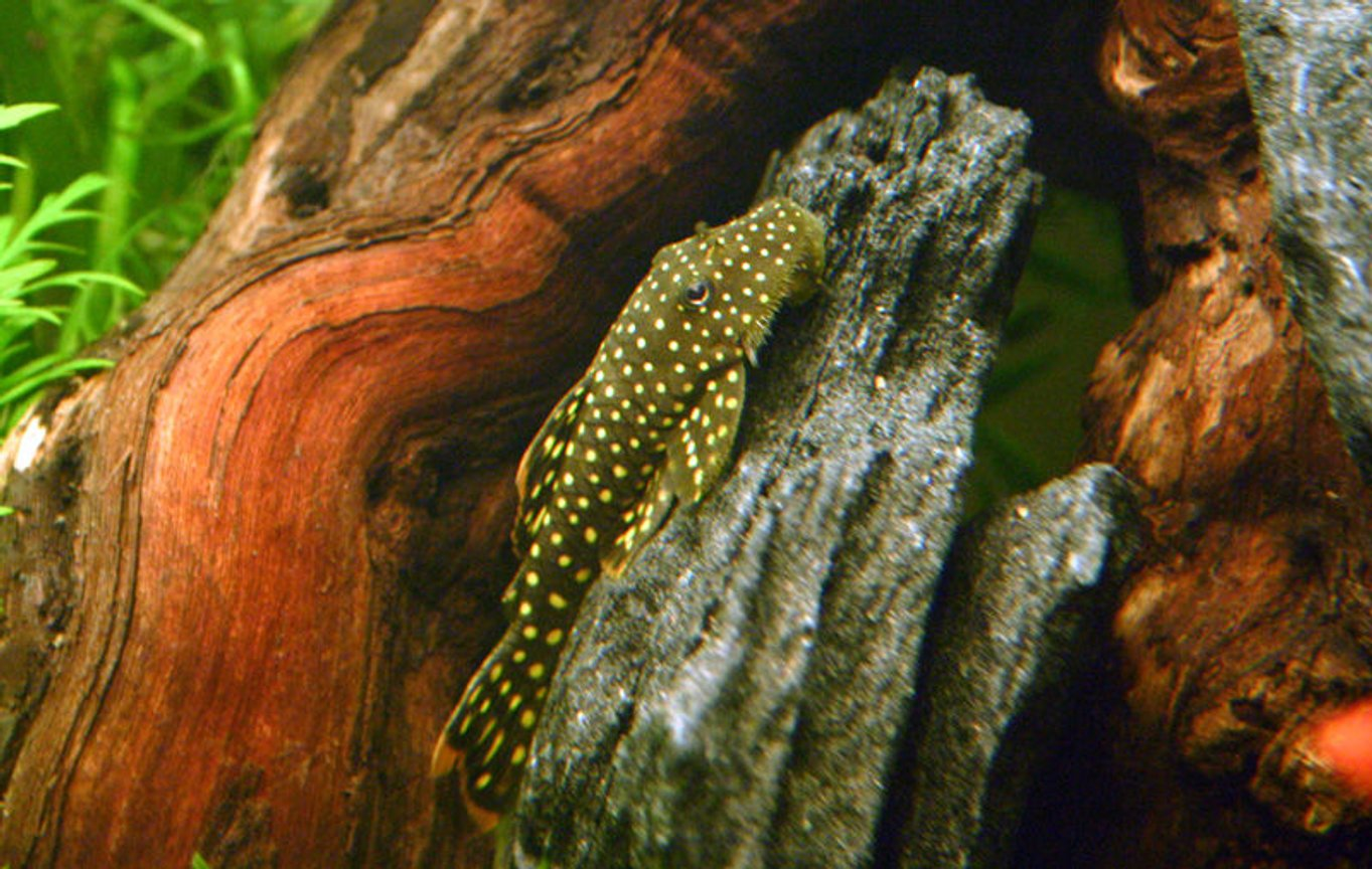 freshwater fish - baryancistrus sp. - gold nugget pleco (l-18) stocking in 90 gallons tank - Gold Nugget Pleco