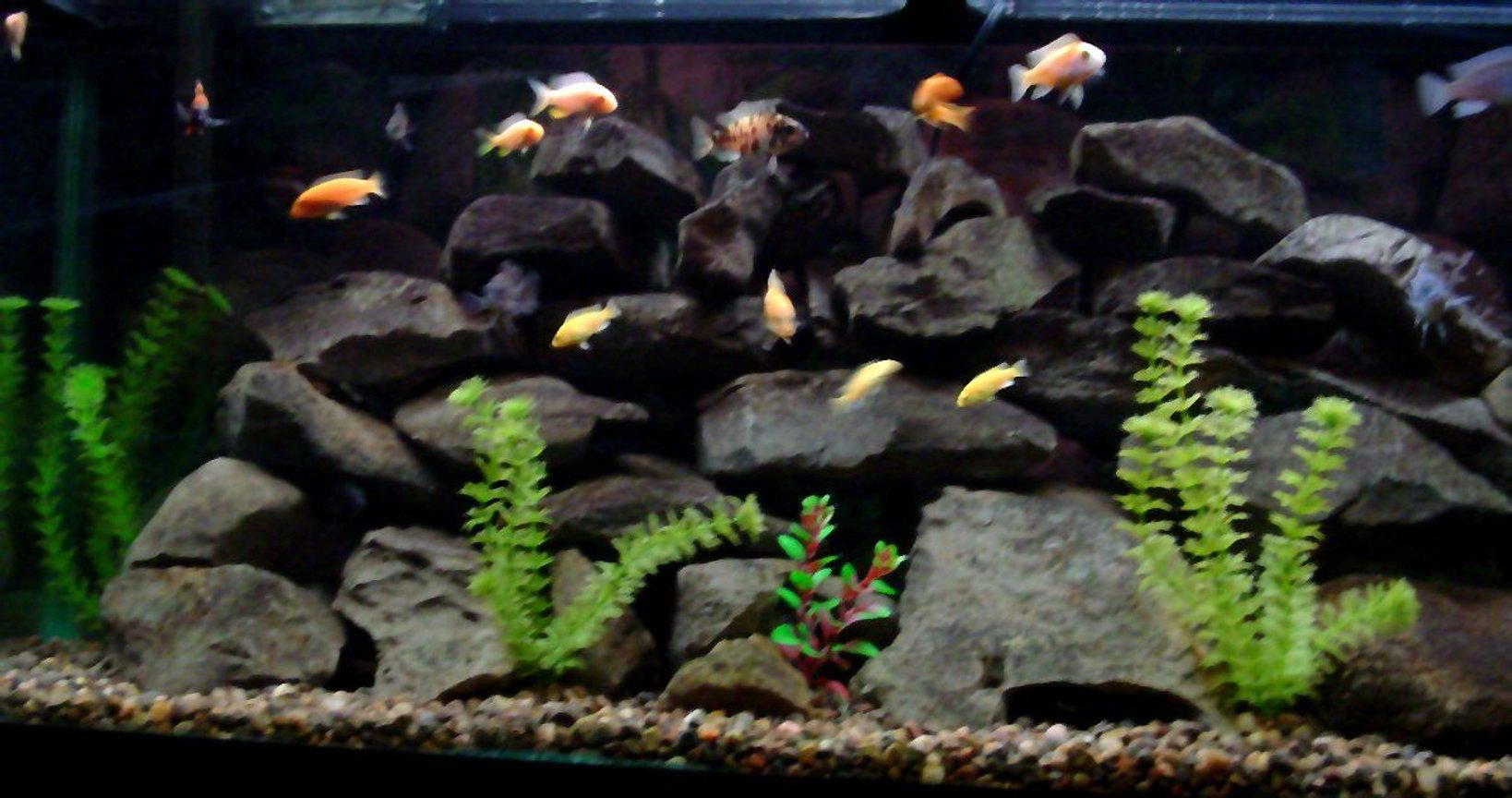 freshwater fish - pseudotropheus estherae - red zebra cichlid stocking in 55 gallons tank - 55 Gallon Malawi cichlid aquarium 3-cobalt blue zebras 3-red zebras 3 yellow labs various peacocks and a synadontis catfish