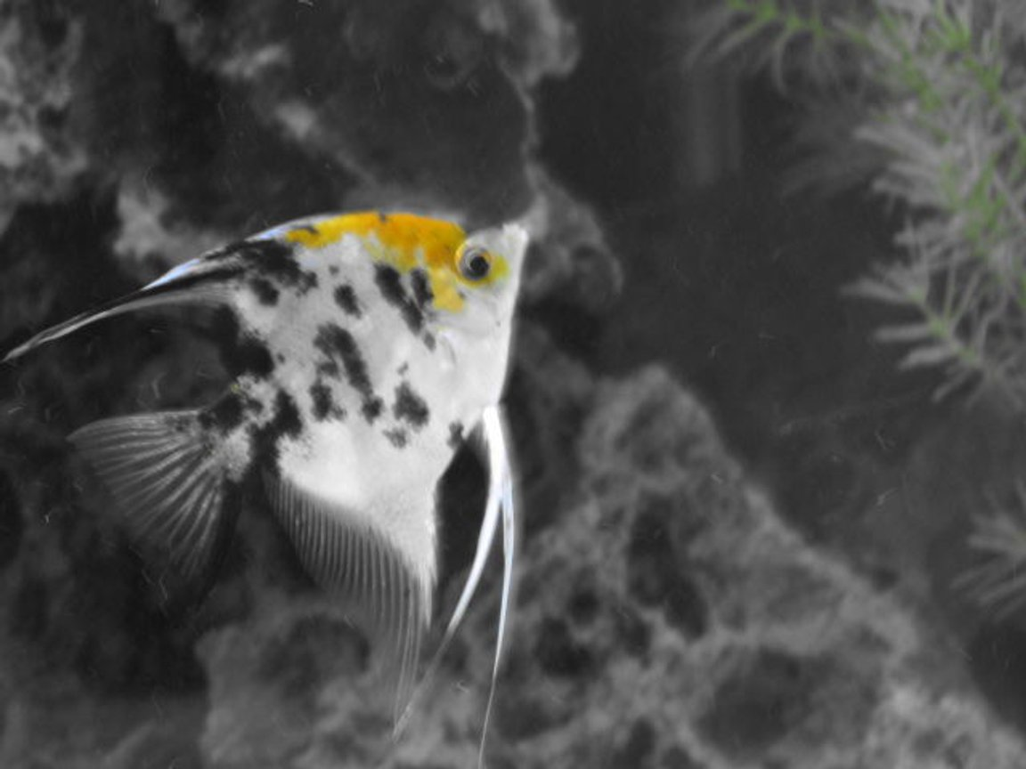 freshwater fish - pterophyllum sp. - koi angel stocking in 80 gallons tank - angel