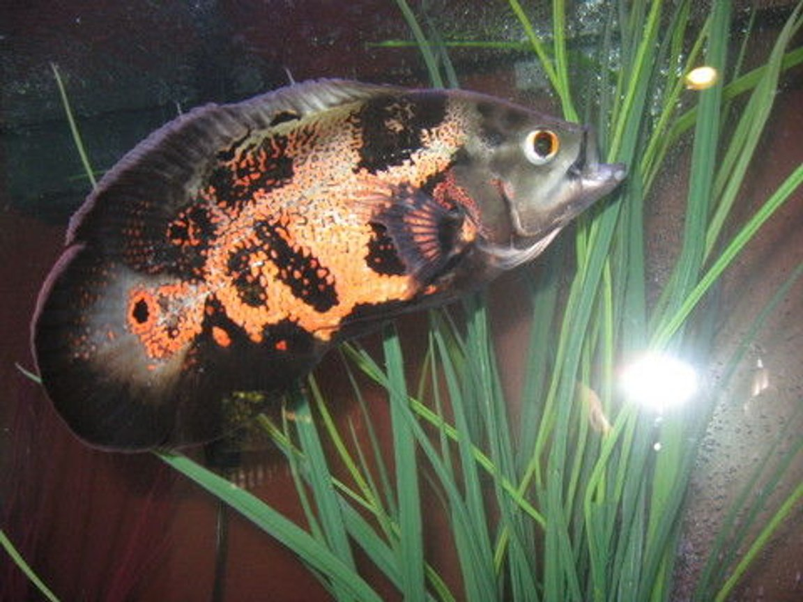 freshwater fish - astronotus ocellatus - tiger oscar stocking in 90 gallons tank - a better pic of the little oscar