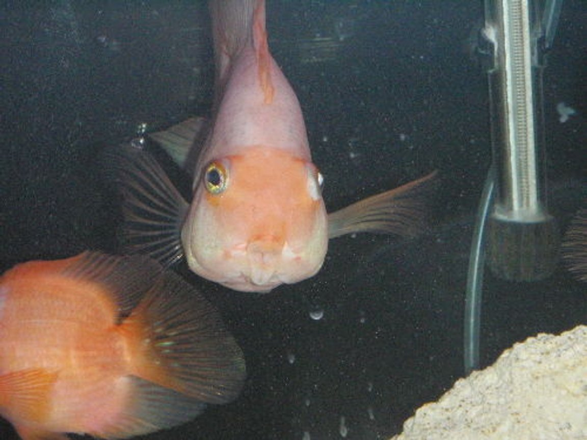 freshwater fish - heros severus x amphilophus citrinellum - blood parrot stocking in 55 gallons tank - pukker up