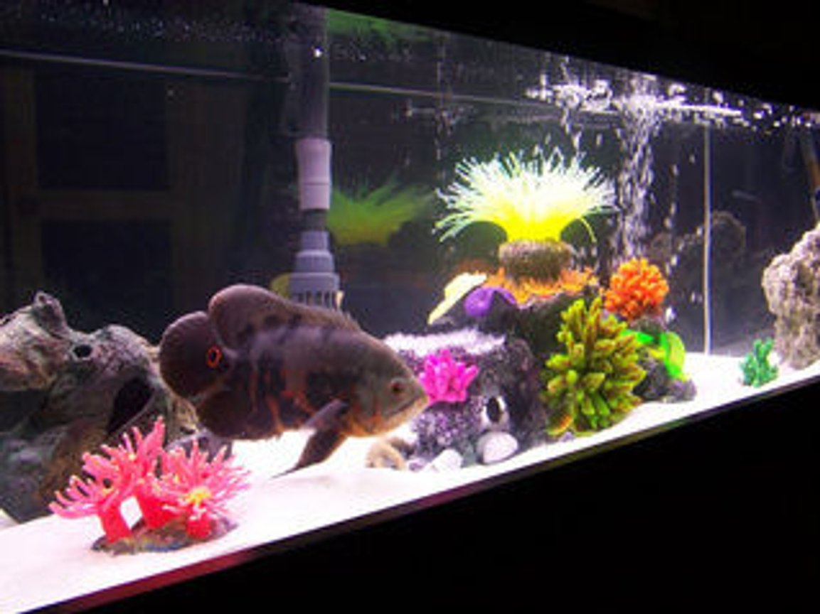 "freshwater fish - astronotus ocellatus - tiger oscar stocking in 33 gallons tank - 33 gallon long. setup as a room divider. Is veiwable from 360 deg. Home to , 2 Blue Peacock Cichlid 1 Leopard Picus, 2 Yellow labs and two orange labs, 1 feeder as of photo lol 3 different Reef Inserts, and misc sea decor, Dual Corallife t5 48"" lights 24"" inch Blacklight Fuval 405 filter with sub Heater, dual glass covers, white marine sand. Bottom frame border"